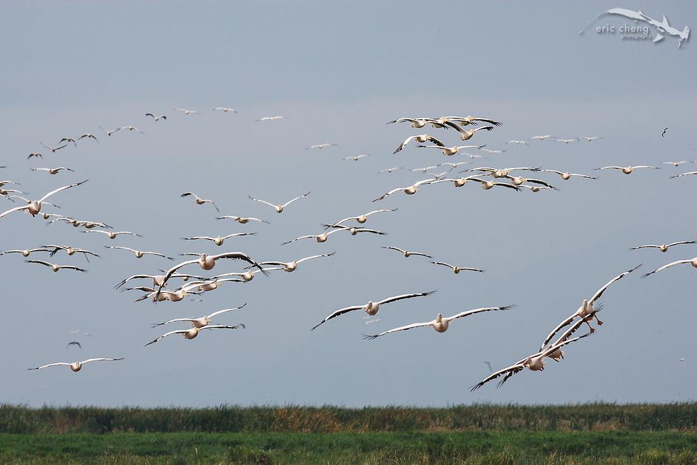 Flocks of great white pelicans (Pelecanus onocrotalus), Lake Manyara, Tanzania