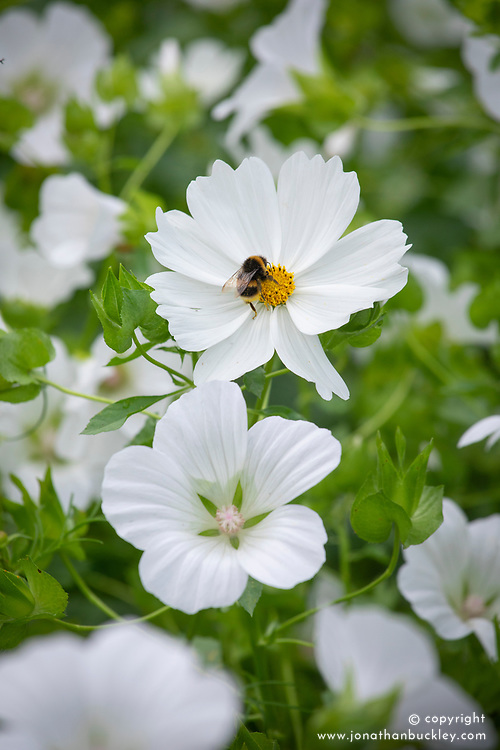 Bee on Cosmos bipinnatus 'Purity' with Malope trifida 'Alba'.