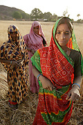 IND.MWdrv04.118.x..Mishri Yadav's sister, Sona (foreground), has come from her nearby village of Bhagwarpur to help harvest wheat with a friend and her sister Mishri (in pink) in Mishri's home village of Ahraura, Uttar Pradesh, India. Women often share harvesting tasks to make the work go faster. Mishri's family must pay half of the harvest to the owner of the land that they farm. They grow one planting of wheat and then rice during the rest of the year. Revisit with the family, 2004. The Yadavs were India's participants in Material World: A Global Family Portrait, 1994 (pages: 64-65), for which they took all of their possessions out of their house for a family-and-possessions-portrait. Work..