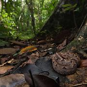 Malayan Pit Viper (Calloselasma rhodostoma) subadult in Yan Ta Khao district, Trang, Thailand