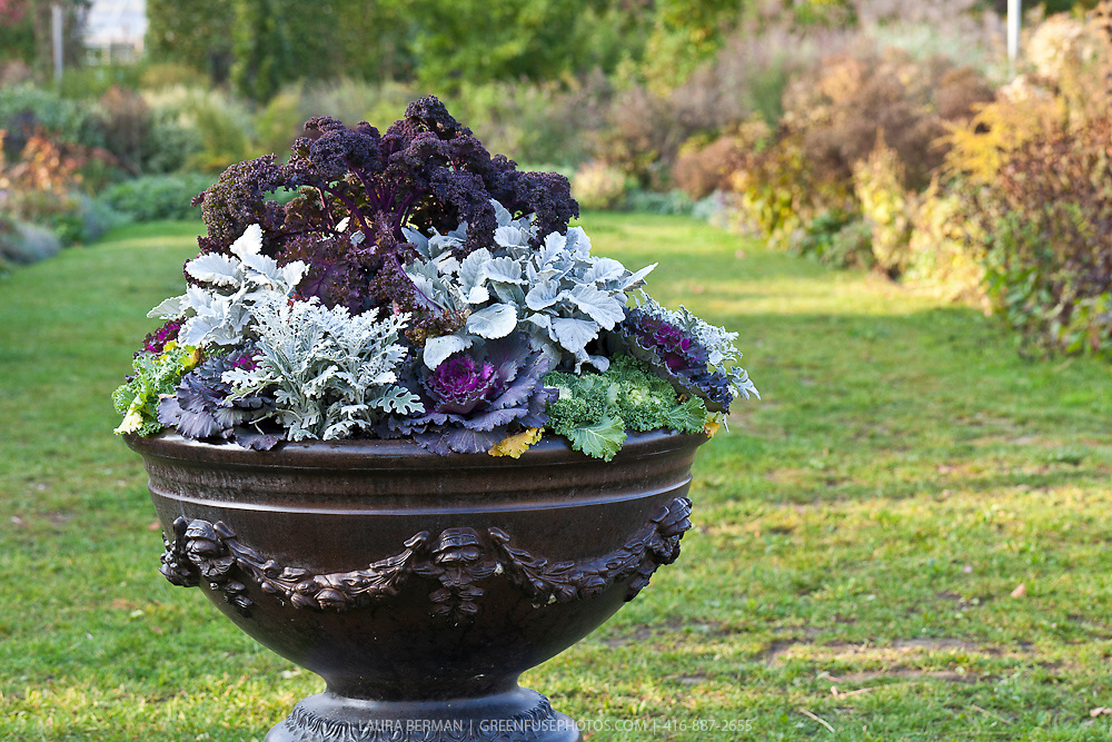 Purple curly kale, white dusty miller and purple and green decorative kale in a large decorative urn.