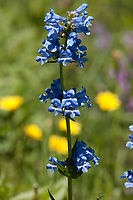 Northern Utah Mountains in spring become alive with many wildflowers like the Blue Penstemon a common western wildflower.