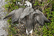 Emperor Goose photos