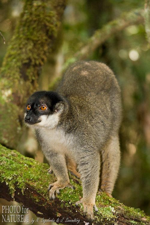Lémur brun, Eulemur fulvus, Parc National d'Andasibe, Madagascar