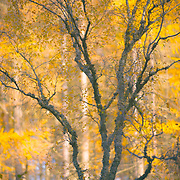 Autumn trees, Pitagowan, Perthshire.