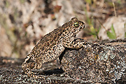 Natterjack Toad (Bufo calamita)<br /> Sierra de And&uacute;jar Natural Park, Mediterranean woodland of Sierra Morena, north east Ja&eacute;n Province, Andalusia. SPAIN<br /> RANGE: w &amp; central Europe e to Russia &amp; UK &amp; Ireland.<br /> <br /> Mission: Iberian Lynx, May 2009<br /> &copy; Pete Oxford / Wild Wonders of Europe<br /> Zaldumbide #506 y Toledo<br /> La Floresta, Quito. ECUADOR<br /> South America<br /> Tel: 593-2-2226958<br /> e-mail: pete@peteoxford.com<br /> www.peteoxford.com