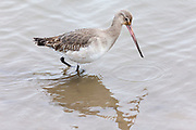 Bar-tailed Godwit, Limosa lapponica, a wading wild bird with long pointed bill beak, in North Norfolk, UK