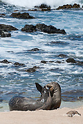 Hawaiian monk seals, Monachus schauinslandi, Critically Endangered endemic species;  a 5 year old male (RO36) scuffles with a female, (R318); Beach 4, west end of Molokai, Hawaii ( Central Pacific Ocean )