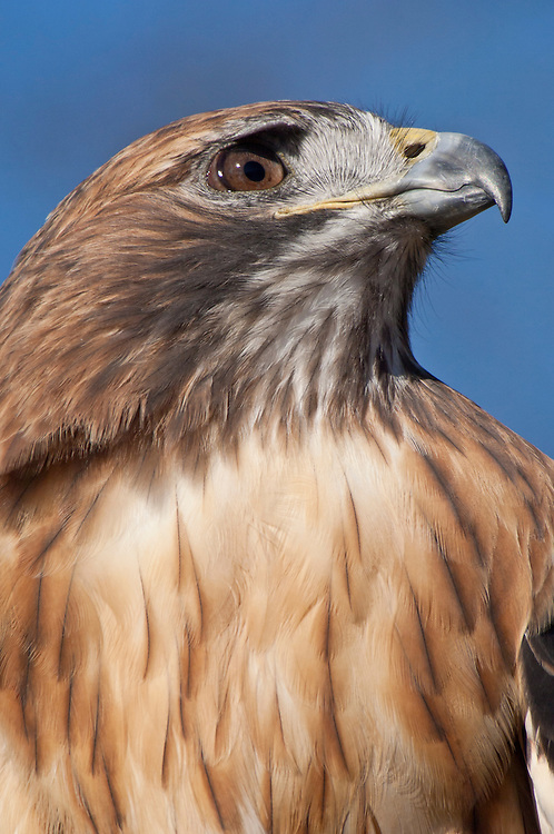 Red-tailed Hawk, Buteo jamaicensis, female, native to North and Central America