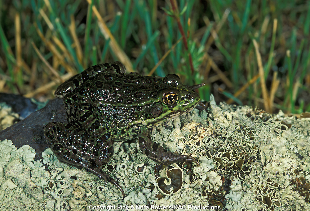 Chiricahua Leopard Frog<br /> Rana chiricahuensis<br /> Three Forks, south of Greer, Arizona, United States<br />  August       Adult        Ranidae      ENDANGERED