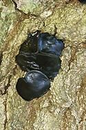 Black Bulgar - Bulgaria inquinans