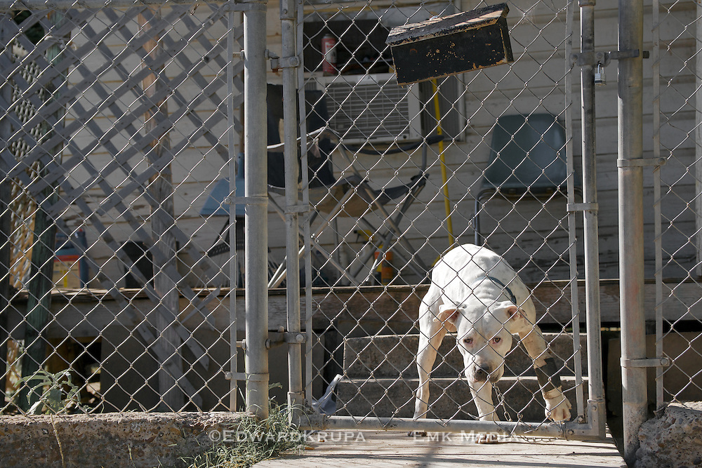 A pit bull chained and behind a fence in a poor neighbourhood in Laredo, Texas.