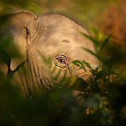Disappearing Asian Elephants