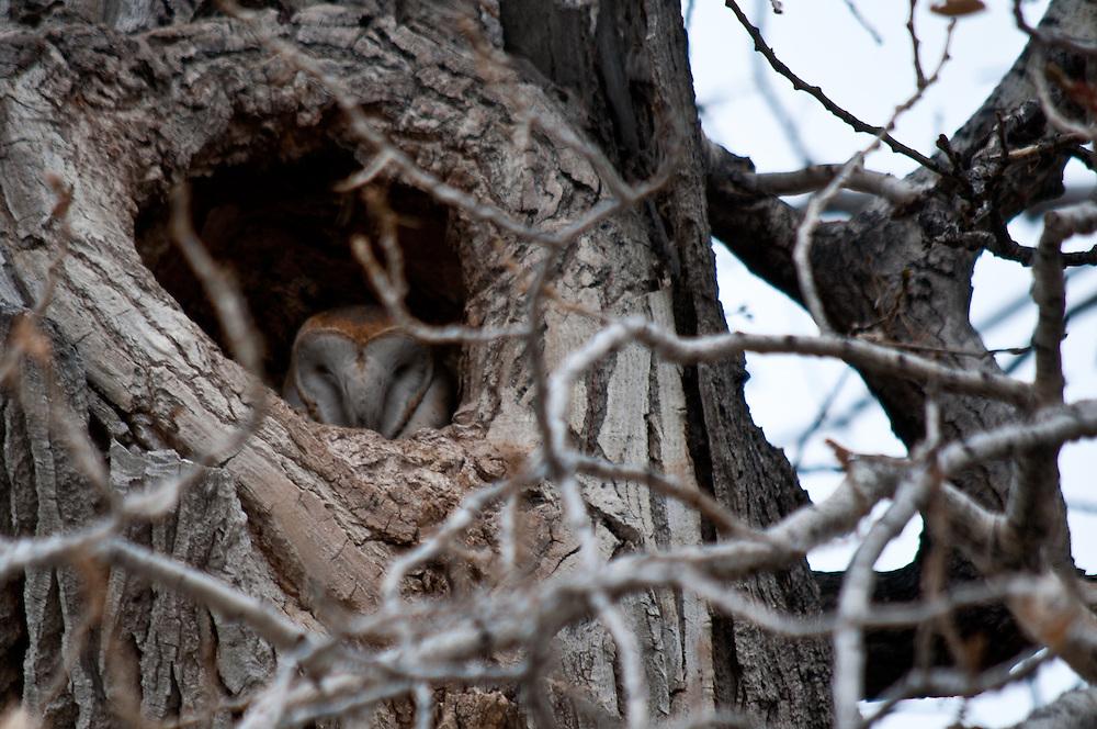 Barn Owl (Tyto alba) sleeping in a roost at Honey Lake near Susanville, California.