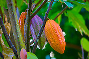 Cacao tree, chocolate, Botanical garden, Waipio Valley, Big Island of Hawaii