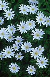 Anemone apennina (white form)