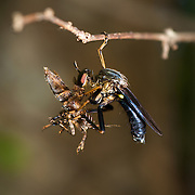 Fly of the Diptera family Asilidae are commonly known as robber flies. Here a robber fly is eating a flying inect whilst hanging onto a twig with one leg.