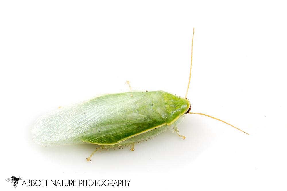 Green Banana or Cuban Cockroach (Panchlora nivea)<br /> TEXAS: Williamson Co.<br /> Cedar Park<br /> 26-May-2013<br /> J.C. Abbott