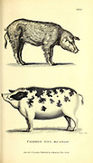 Hog from General zoology, or, Systematic natural history Vol II Part 2 Mammalia, by Shaw, George, 1751-1813; Stephens, James Francis, 1792-1853; Heath, Charles, 1785-1848, engraver; Griffith, Mrs., engraver; Chappelow. Copperplate Printed in London in 1801 by G. Kearsley