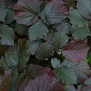 These deeply wine-colored leaves remind me of fairy tales with foreboding forests.