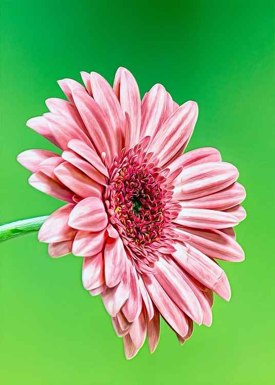 A Flowing Soft Pink Gerber Daisy Macro Profile Shot Against A Backdrop of Vibrant Lime Green