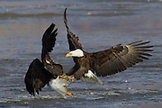 Haliaeetus leucocephalus-Bald Eagles gather in Farmington Bay,  Utah, Jan. 29 2011.  Colin E Braley (Wild West-Media)