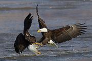 Haliaeetus leucocephalus-Bald Eagles gather in Farmington Bay,  Utah, Jan. 29 2011.  Colin E Braley (Wild West-Media)