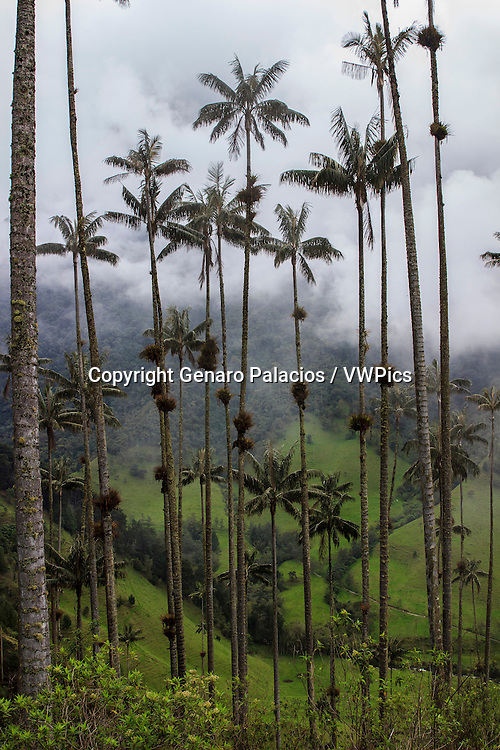 Wax palm trees in Cocora Valley