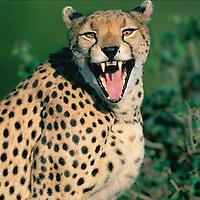 Kenya, Masai Mara Game Reserve, Cheetah (Acinonyx jubatas) yawns while resting in morning sun