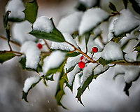 Holly berries in the snow. Our second snowstorm in two days. Winter has finally arrived. Fuji X-T1 camera and 90mm f/2 lens (ISO 200, 90 mm, f/2, 1/400 sec).