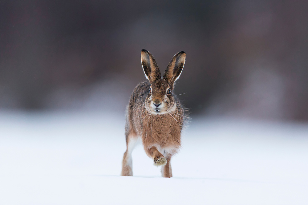 Brown Hare (Lepus capensis) adult running across snow-covered field, Scotland