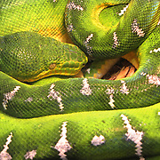Exotic Snakes have become a major concern for Everglades National Park. Recent studies have shown the parks mammal population on the decline and snakes seem to be part of the reason.