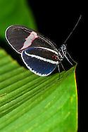 Alberto Carrera, Butterfly, Napo River Basin, Amazonia, Ecuador, South America, America