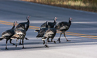 Wild turkey's crossing the highway at Custer State Park, South Dakota.