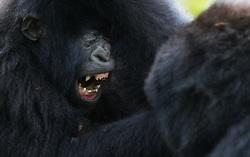 Mountain Gorilla (Gorilla beringei beringei) in Rwanda