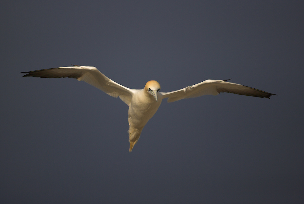 Gannet (Morus bassanus) in flight, Saltee Islands, Ireland