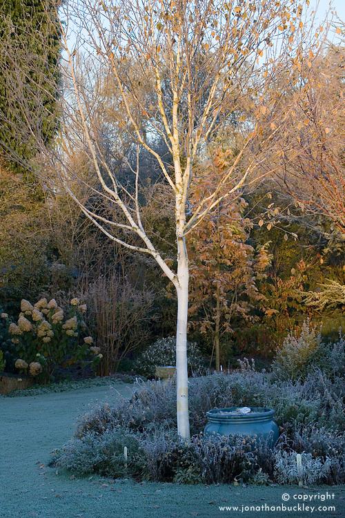 The white bark of Betula utilis var. jacquemontii on a frosty morning in winter. Silver birch. Design: John Massey, Ashwood Nurseries