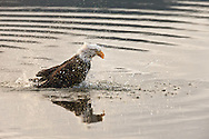 Bald Eagle (Haliaeetus leucocephalus) bathing in Chilkat River in the Chilkat Bald Eagle Preserve in Haines in Southeast Alaska. Winter. Morning.