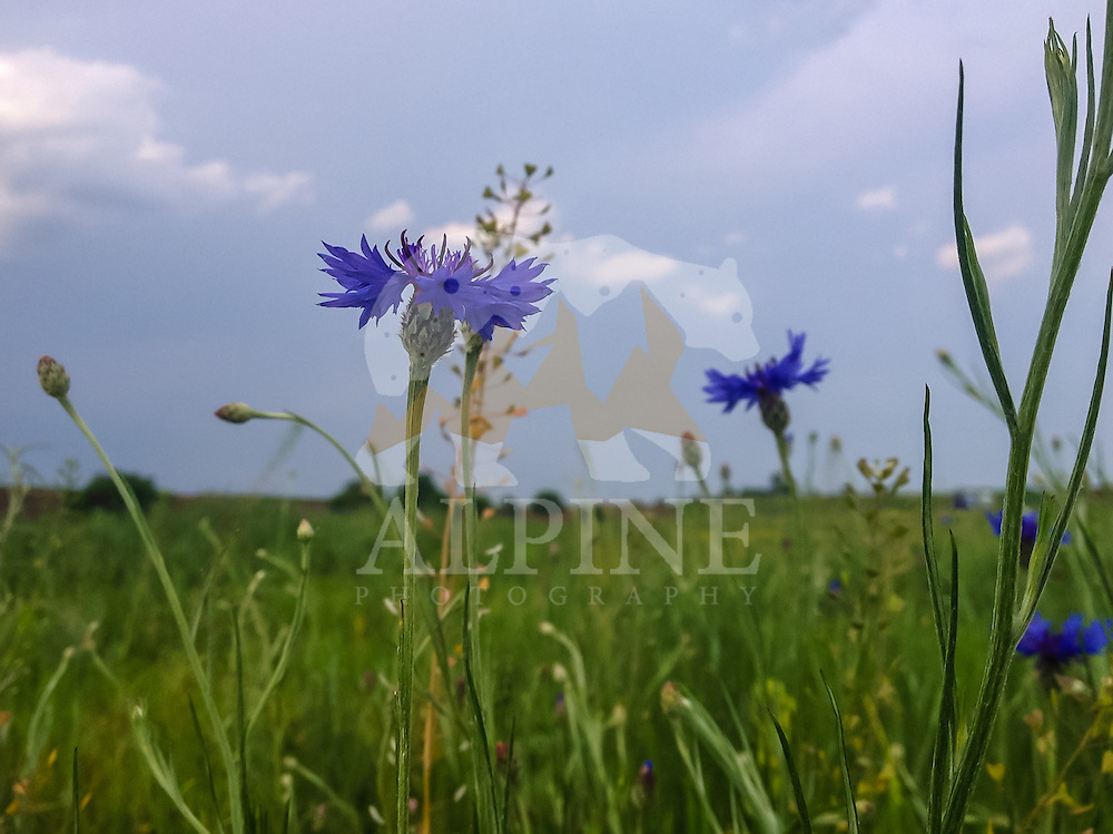 Cornflowers as seen raising up in the sun in a grass field next to the village of Corbii Mari in the South of Romania.