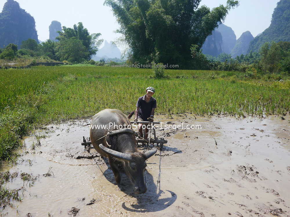 China, Yangshuo town Farmer plowing rice paddy with water buffalo