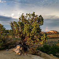 Juniper tree clings to sandstone outcrop as a storm recedes, northwestern New Mexico, © 2018 David A. Ponton