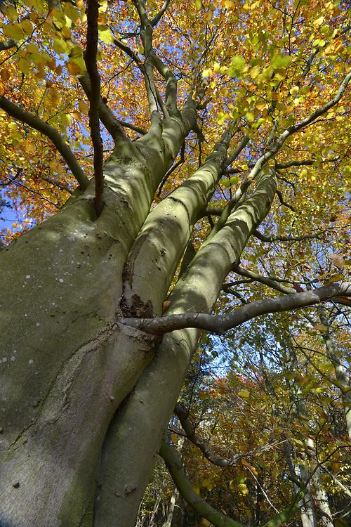 Mature autumn Beech - Fagus sylvatica, Stoke Wood, Oxfordshire.