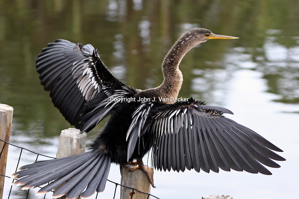 Anhinga (female) drying feathers with wings spread, Southwest, Florida