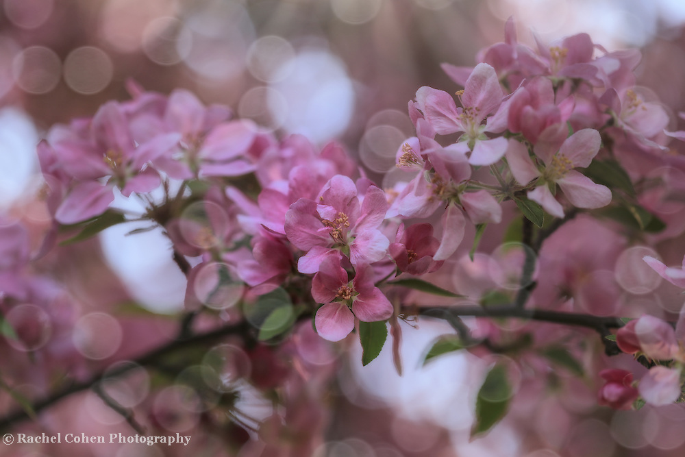 &quot;Dance of the Fairies&quot;<br /> <br /> A magical and enchanting spring photo of pink blossoms and sunlight dancing throughout the image!