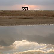 A Dingo at dawn on 75-Mile Beach, Fraser Island, Australia. The clouds and morning sunrise are reflected in a tidepool.