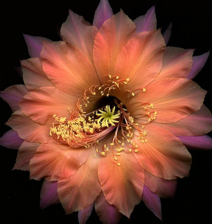 """Echinopsis cactus hybrid """"Djinni"""" / #VAR317"""