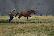 A wrangler brings in the horses at days end on the Mead Ranch, Jackson, Wyoming.