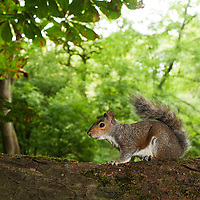 Grey Squirrel. Wytham woods. Oxfordshire UK.