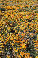 California Poppies (Eschscholtzia californica) cover the foothills of Mt. Franklin in El Paso, Texas.