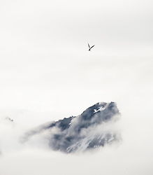 Arctic Tern (Sterna paradisaea) in flight in Hornsund, Spitsbergen, Svalbard, Norway